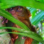 tarsier-arbre-gros-yeux