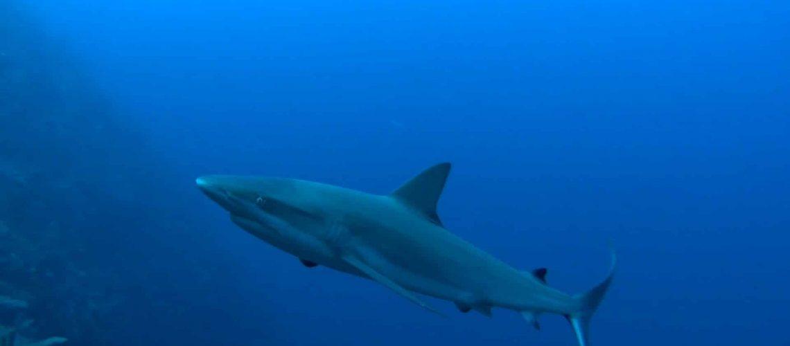 requin-plongee-ile-providencia-partir-loin (5)